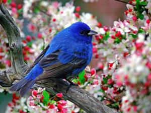 oiseau bleujpg